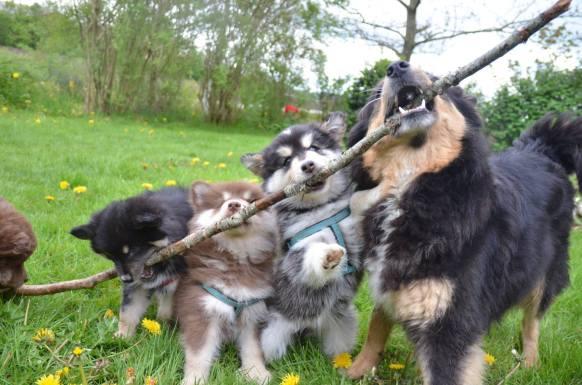 Ollie leger med Mustangerne