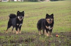 Ainu og Ollie